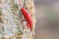 Insekt auf Baum in Sycanus-Klasse Stockfotografie