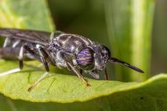 Insekt auf Blatt Stockfotografie