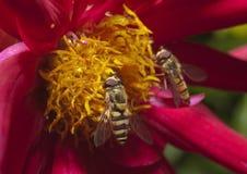 Insekt auf Blume lizenzfreies stockfoto