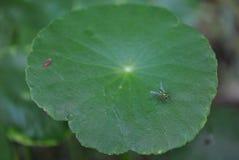Insekt auf dem centella asiatica Lizenzfreies Stockbild