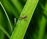 Insekt auf dem Grasabschluß oben Lizenzfreies Stockbild