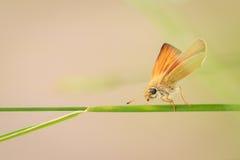 Insekt auf einem Grashalm stockbild