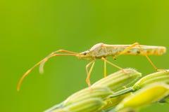 Insekt auf einem Ohr des Reises Lizenzfreie Stockfotografie