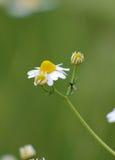 Insekt auf Kamillenblume Lizenzfreie Stockbilder