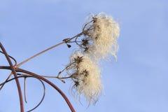 Insekt auf toten Klematis mit weißen Büscheln Lizenzfreies Stockfoto
