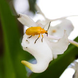 Insekt auf weißer Orchidee Lizenzfreies Stockbild
