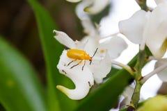Insekt auf weißer Orchidee Lizenzfreies Stockfoto