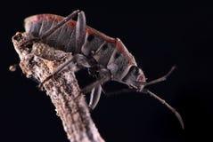 Insekt auf Zweigschwarz-Hintergrundextremem Makroabschluß oben lizenzfreie stockfotos