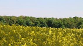 Insekt bestäubte Canolafeld stock footage
