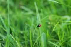 Insekt biedronka z czerwonym ciałem i czarne kropki zestrzelamy ostrze obrazy stock