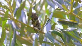 Insekt Cicadidaefamilie von Zikaden Cicadidae auf dem Baumstamm Flora von Europa Wenig Cicadidae Makronahes hohes stock footage
