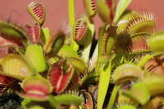 Insekt, das Anlagen, Venusfliegenfalle isst stockfoto