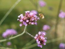Insekt, das auf Blumen einzieht Stockbilder