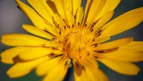 Insekt, das auf die gelbe Blume kriecht stock video footage