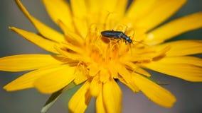 Insekt, das auf die gelbe Blume kriecht stock footage