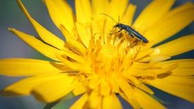 Insekt, das auf die gelbe Blume kriecht stock video