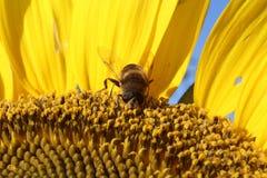 Insekt, das auf Sonnenblume einzieht Lizenzfreie Stockfotografie