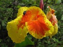 Insekt, das eine Blume klettert Lizenzfreie Stockfotos