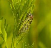 Insekt eine Zikade Stockfotografie