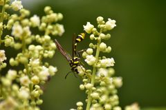 insekt ?erd? na kwiatach i li?ciach zdjęcie stock