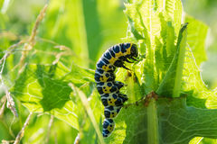 Insekt gąsienica zdjęcia royalty free