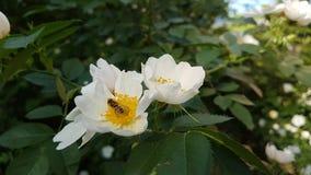 Insekt jest na białym kwiacie zdjęcia stock