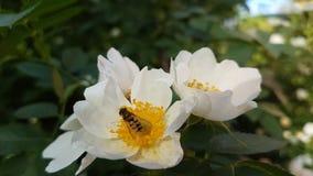Insekt jest na białym kwiacie obraz stock