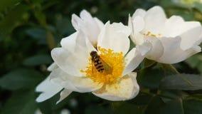 Insekt jest na białym kwiacie fotografia stock