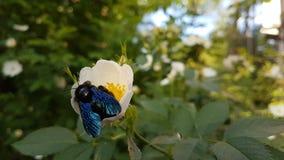 Insekt jest na białym kwiacie obraz royalty free