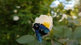 Insekt jest na białym kwiacie zdjęcie royalty free