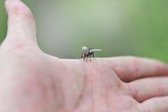 Insekt komarnica obrazy royalty free