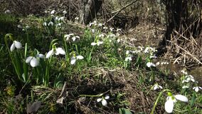 Insekt marznął na kwiacie Fiołek kwitnie w wiosny und zbiory