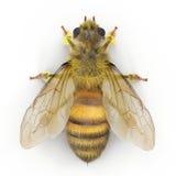 Insekt miodowa pszczoła odizolowywająca na bielu ilustracja 3 d ilustracja wektor