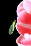 Insekt mit den goldenen Augen, die auf Blume sitzen Stockbilder