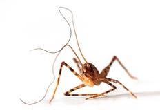Insekt mit langen Antennen Lizenzfreies Stockfoto