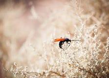 Insekt mit Leuchtorangeflügeln Stockbilder