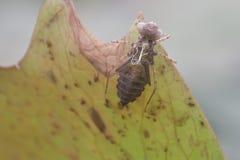 Insekt Molting na Lotosowym kwiacie Zdjęcia Stock