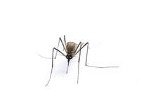 Insekt-Moskito Lizenzfreie Stockfotos
