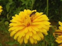 Insekt na żółtym kwiacie Zdjęcia Royalty Free