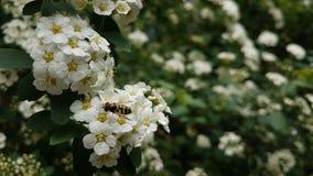 Insekt na białych kwiatach fotografia stock