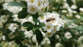 Insekt na białych kwiatach obraz royalty free