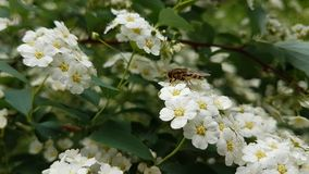 Insekt na białych kwiatach obrazy royalty free