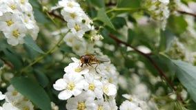 Insekt na białych kwiatach zdjęcie stock