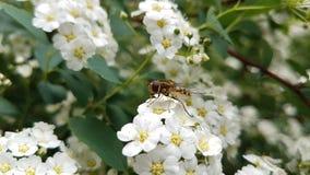 Insekt na białych kwiatach zdjęcia royalty free