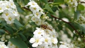 Insekt na białych kwiatach obraz stock