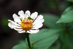 Insekt na białym kwiacie Fotografia Royalty Free