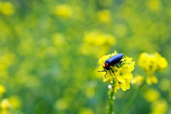 Insekt na canola zdjęcie stock