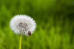 Insekt na dandelion Zdjęcia Stock
