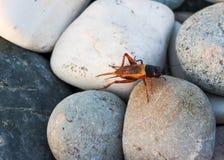 Insekt na dennych kamieniach Zdjęcia Stock
