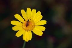 Insekt na jaskrawym żółtym kwiacie fotografia stock